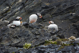 Norway Svalbard Krossfjord Nesting Colony of Puffins