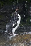 Falkland Islands Rockhopper Penguin Bathing in Waterfall