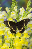 Scamander Swallowtail Butterfly from Brazil  Papilio Scamander