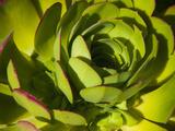 Giant Lobelia Plant Close-up