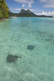 French Polynesia  Bora Bora Haapiti Shallow Lagoon with Stingrays