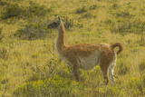 Chile  Patagonia  Torres del Paine National Park Adult Guanaco