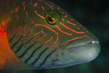 Lined Cheeked Wrasse (Oxycheilinus Digrammus)  Rainbow Reef  Fiji