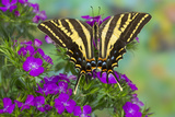 Three-Tailed Tiger Swallowtail Butterfly  Papilio Pilumnus