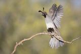 USA  Arizona  Buckeye Female Gambel's Quail Raises Wings on Branch