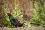 USA  California  Central Valley  European Ring-Necked Pheasant