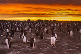 Falkland Islands  Sea Lion Island Gentoo Penguins Colony at Sunset