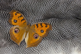 Pansy Butterfly on Helmeted Guineafowl Feathers