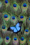 Blue Mountain Swallowtail Butterfly on Peacock Tail Feather Design