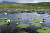 Isle of Lewis  European White Water Lily in Pond Scotland