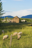 Bozeman  Montana  View of Sheep and Barn in Beautiful Green Fields