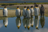 Falkland Islands  East Falkland King Penguins Reflecting in Water