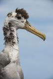 Waved Albatross  Espanola Island Galapagos Islands  Ecuador  Endemic