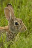 Colorado  Rocky Mountain Arsenal Side Portrait of Cottontail Rabbit
