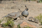 USA  Arizona  Amado Male and Female Gambel's Quail with Chicks