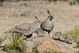 USA  Arizona  Amado Male and Female Gambel's Quail with Chicks