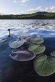 Water Lilies in Lang Pond in Maine's Northern Forest