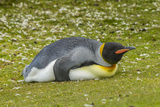 Falkland Islands  East Falkland King Penguin Lying on Grass