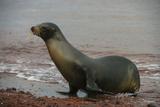 Galapagos Sea Lion Emerging onto the Beach  Galapagos  Ecuador