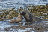 Falkland Islands  Bleaker Island Southern Sea Lions Near Water