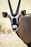Namib and Nature Reserve  Namibia a Close-up of a Gemsbok (Oryx)