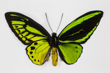 Common Green Birdwing Butterfly  Comparing the Top Wing and Bottom