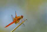 Flame Skimmer Dragonfly Perched and at Rest in La Mesa  California