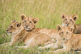 Kenya  Maasai Mara  Mara Triangle  Mara River Basin  Lioness with Cubs