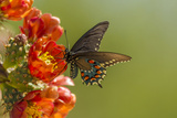 Arizona, Sonoran Desert. Pipevine Swallowtail Butterfly on Blossom Papier Photo par Cathy & Gordon Illg