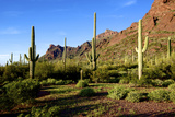 Organ Pipe Cactus National Monument  Ajo Mountain Drive in the Desert