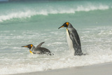 Falkland Islands  East Falkland King Penguins in Beach Surf