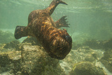 Ecuador  Galapagos National Park Sea Lion Pup Underwater