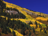 Hillside of Aspen Trees and Evergreen Trees  La Plata County  Colorado