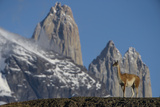 Guanaco with Cordiera del Paine  Torres del Paine  Patagonia  Chile