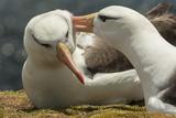 Falkland Islands  Saunders Island Black-Browed Albatross Courtship