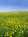 Isle of Lewis  Machair with Buttercup Wildflowers Scotland