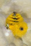 Christmas Tree Worm (Spirobranchus)  Fiji