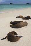 Galapagos Sea Lions Gardner Bay  Hood Island  Galapagos  Ecuador