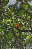 El Gallito de las Rocas O Tunqui (Rupicola Peruviana)  Guyana