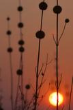 Okavango Delta  Botswana Africa Thistles at Sunset