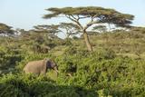 Elephant Walks Through Jungle Landscape  Ngorongoro  Tanzania