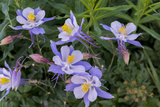 Colorado Columbine from Gothic Road  Crested Butte  Colorado