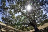 Spreading Oak Tree with Sun  Sonoma  California