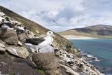 Black-Browed Albatross or Mollymawk  Colony Falkland Islands