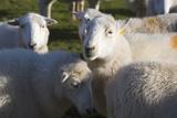 Sheep  Snowdonia  Wales  UK