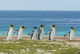 Falkland Islands  East Falkland King Penguins Walking