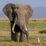 Kenya  Amboseli National Park  Elephant (Loxodanta Africana)