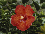 Hawaii Islands  Hibiscus Flower  Close-up