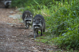 Two Raccoons Walking