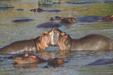 Two Hippos Fighting in Foreground of Mostly Submerged Hippos in Pool